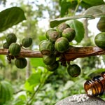 weiter zu - Coffea Globuli
