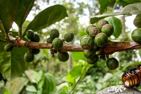 Coffea Globuli – Wirkung und Anwendung in der Homöopathie
