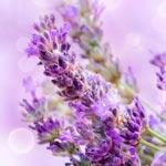 weiter zu - Lavendel Wirkung und Anwendung