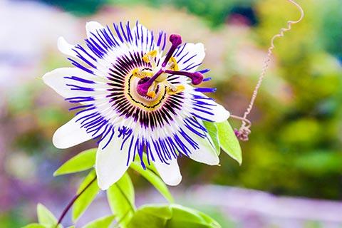Passionsblume Wirkung und Passionsblume Anwendung