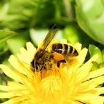 weiter zu - Honig aus Löwenzahn herstellen - Rezept