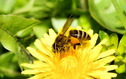 Honig herstellen: Honig aus Löwenzahn – Rezept