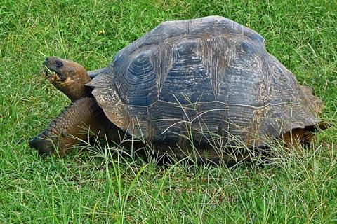 Elefantenschildkröte