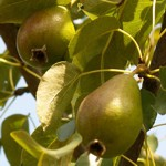 weiter zu Obst und Gemüse Sorten - Birnen