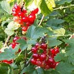 weiter zu Obst und Gemüse Sorten - Johannisbeeren