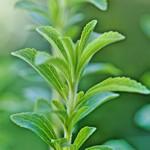 weiter zu - Stevia Pflanze