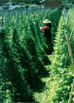 Ernte der Jiaogulan Pflanze