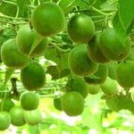 weiter zu - Luo Han Guo, natürlicher Zuckerersatz