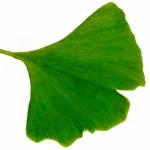 weiter zu - Ginkgo Blatt und seine Bedeutung