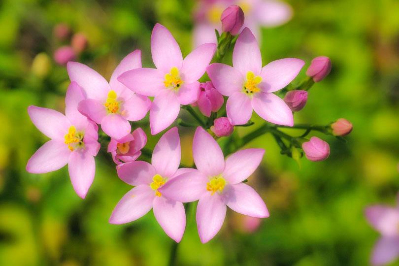 Die 38 Bachblüten für Gesundheit, Harmonie & Klarheit